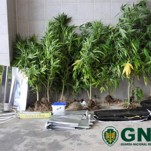 GNR deteve homem suspeito de cultivo de cannabis em Vila Nova de Poiares