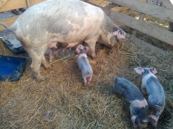 feira porco2