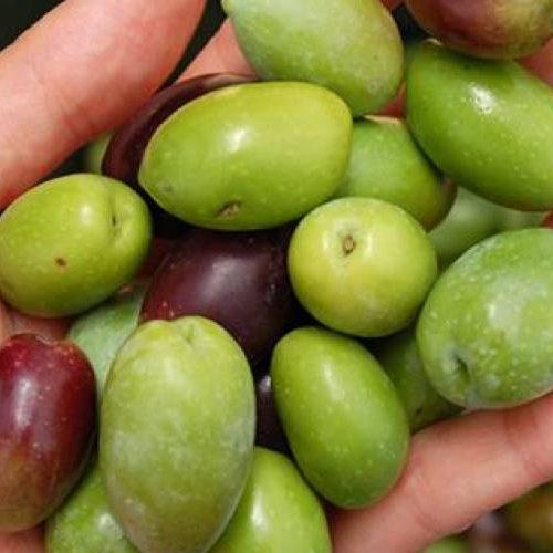 GNR detém 117 pessoas e apreende 55 toneladas de azeitona