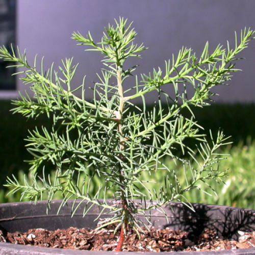 Seia: Raposeira abriga plantação de sequóias gigantes