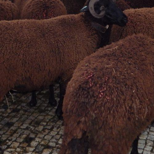 Um rebanho de ovelhas vai 'invadir' Lisboa em defesa do queijo da Serra da Estrela