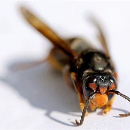 Quercus alerta para progressão da vespa asiática