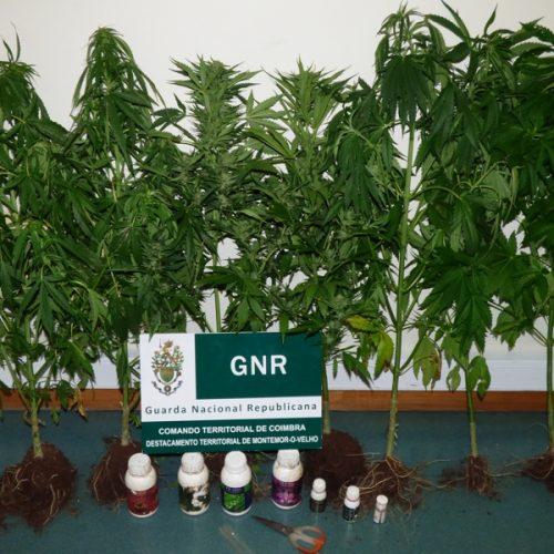 GNR deteve um homem por cultivo de cannabis e outro por tráfico de estupefacientes