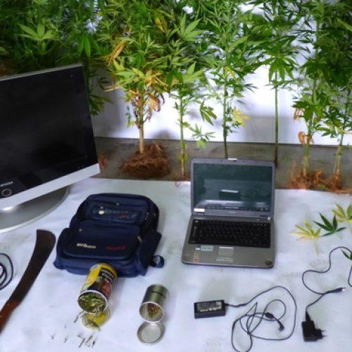 Região: Homem detido por cultivo de cannabis