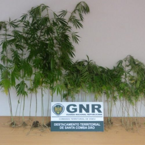 GNR apreendeu 100 plantas de cannabis em Carregal do Sal
