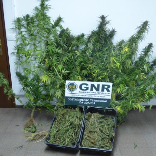 Mais de um quilo de folhas de cannabis apreendidas na Guarda