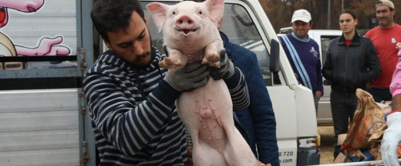 Federação de Suinicultores ofereceu 71 leitões a criadores de Oliveira do Hospital