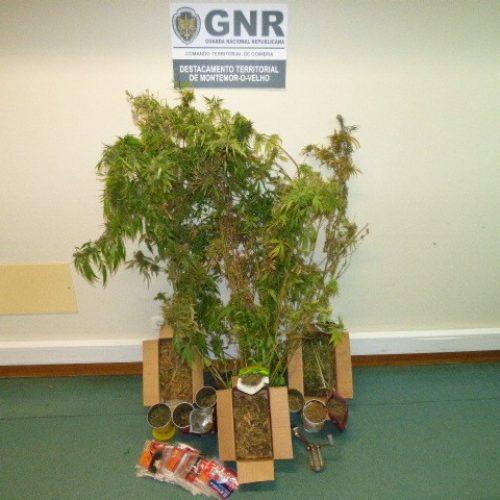 GNR apreendeu 64 plantas de cannabis na Figueira da Foz