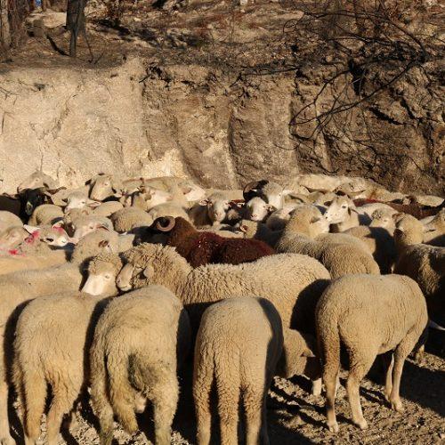 Produtores de ovelha da Serra da Estrela recebem 34 euros por animal, esclarece o governo
