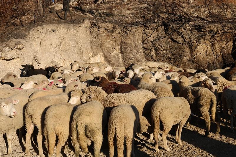 ovelhas serra estrela
