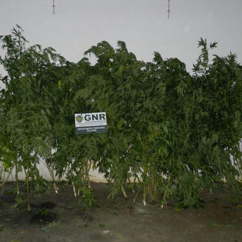 Tábua: Dois homens detidos em flagrante por cultivo de plantas de cannabis