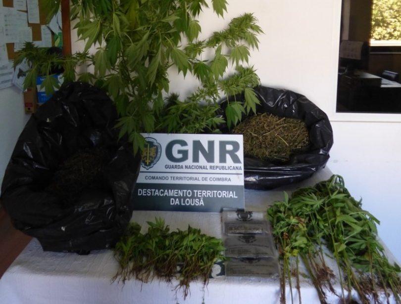 Lousã: Homem detido na posse de 210 plantas de cannabis