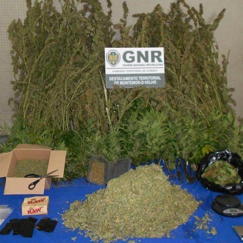Montemor-o-Velho: Detido na posse de cerca de oito mil doses de cannabis
