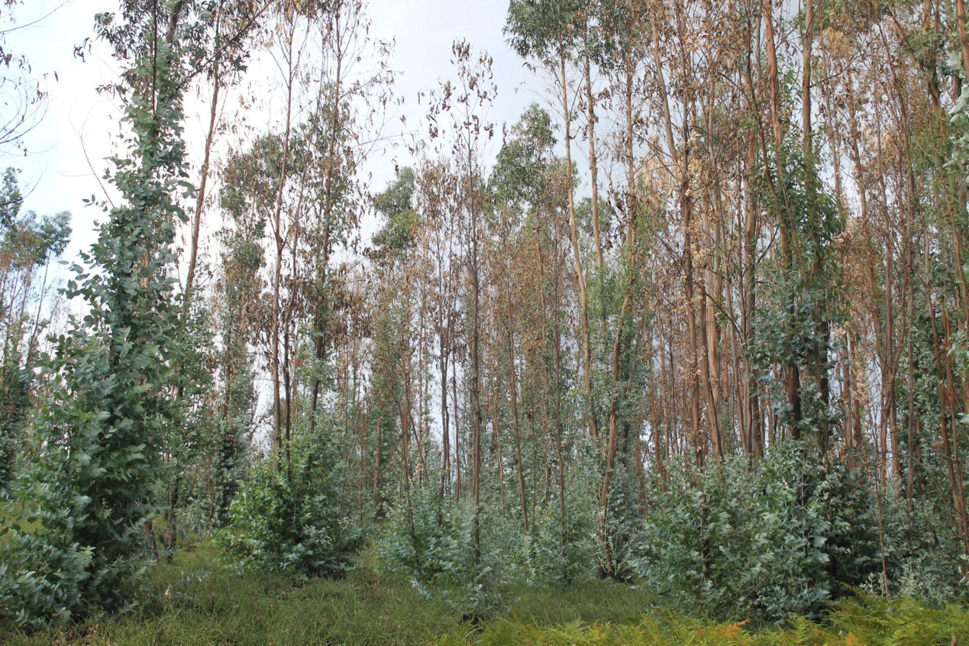 Governo assegura que área de eucalipto vai reduzir a nível nacional