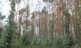 Vereador do PSD quer que desempregados e beneficiários do RSI sejam chamados para limpeza e arranque de eucaliptos