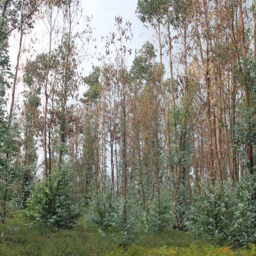 Município de Oliveira do Hospital disponibiliza 250 mil árvores autóctones a proprietários que arranquem eucaliptos