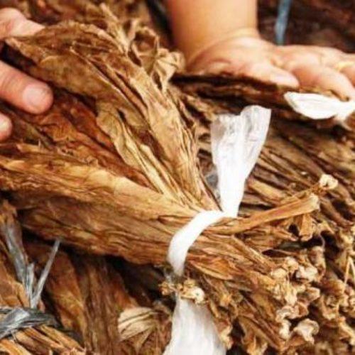 Região: GNR apreendeu 400 quilos de folha de tabaco