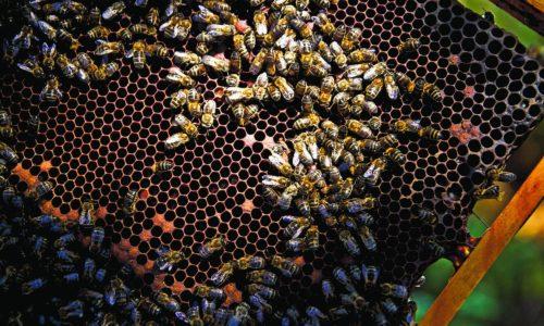 Município de Oliveira do Hospital apoia apicultores com alimentação para duas mil colmeias