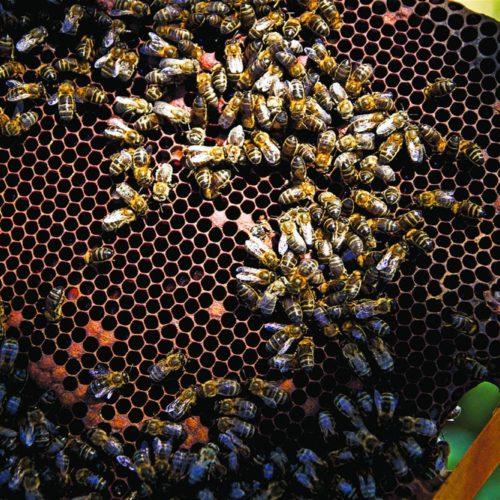 Município de Oliveira do Hospital oferece alimentação para abelhas aos apicultores