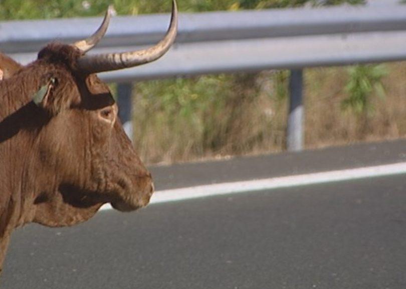 Camião de bovinos despistou-se na A17 e obrigou ao corte de trânsito