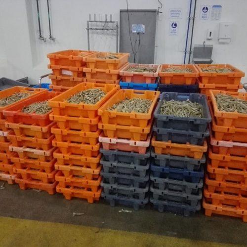 Região: Apreendidos 805 quilos de longueirão por não possuíam medidas regulamentares