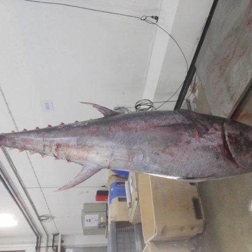 Aveiro: GNR apreende atum-rabilho com 205 quilos