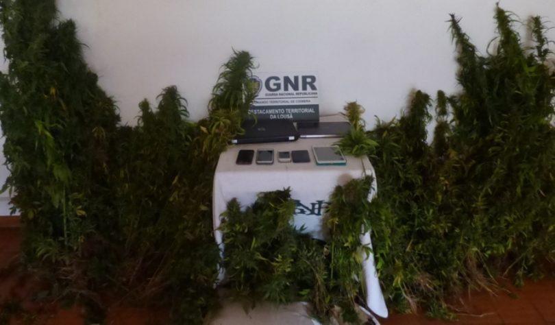 Casal detido em Góis na posse de mais de 1 400 plantas de cannabis