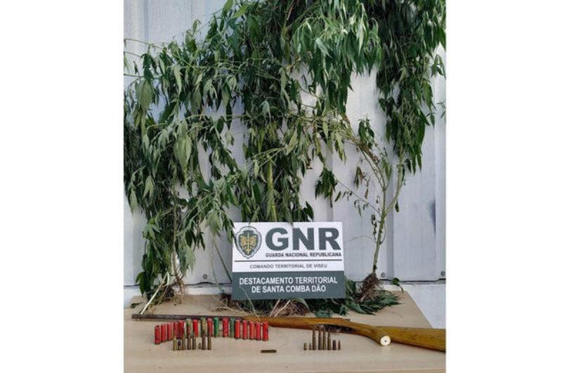 Tondela: Homem detido por cultivar cannabis