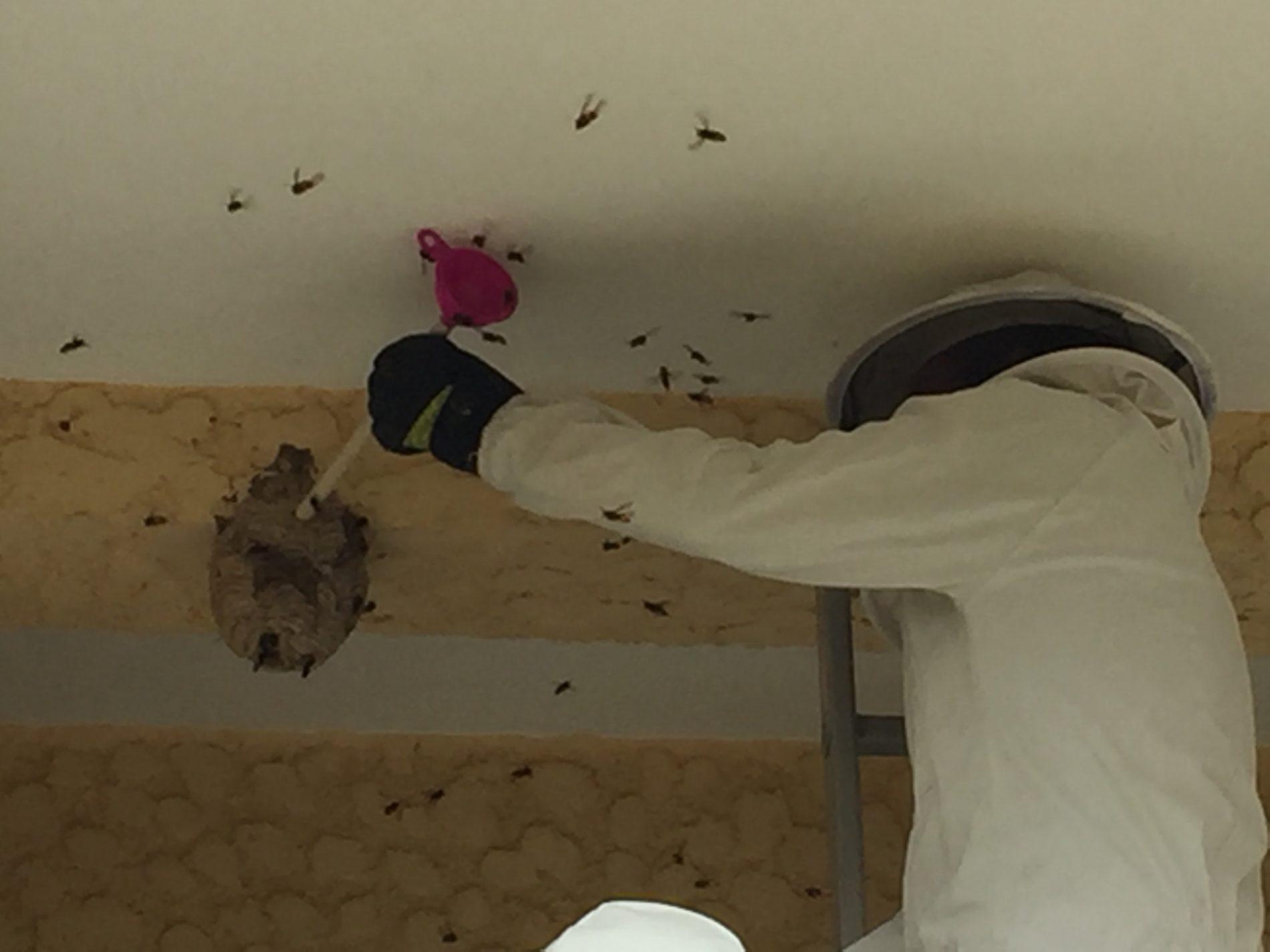 Município de Góis já eliminou 90 ninhos de vespa asiática