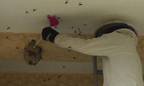 Município de Oliveira do Hospital conta com apoio financeiro para combater vespa asiática