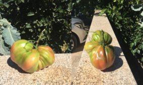 Curiosidades: Armindo Silva, de Pinheirinho, colheu tomate com 1,450 Kg