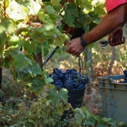 Vindimas facilitam integração de novos alunos na Agrária de Coimbra