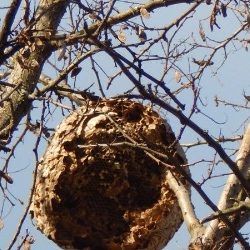 Oliveira do Hospital destruiu cerca de 340 ninhos de vespa asiática