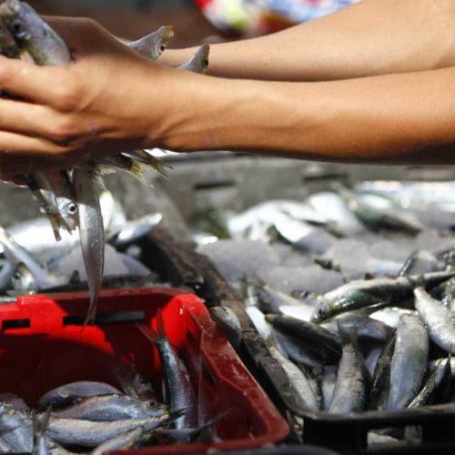 Mais de três toneladas de sardinhas apreendidas na lota de Aveiro