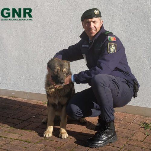 Soure: GNR recupera cão que estava desaparecido há um ano através da leitura do chip