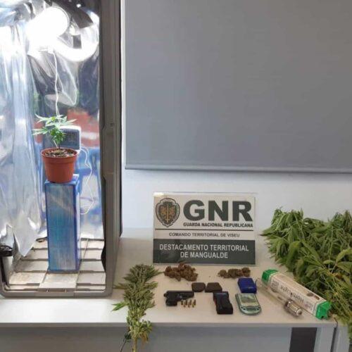 Nelas: Detidos por cultivo de droga e posse de arma